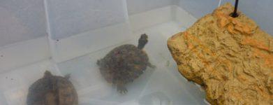 2 tartarughe