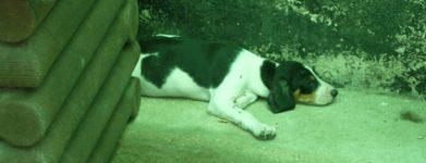 Quasi beagle